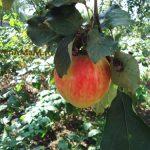 Цукаты из небольших кислых яблок (засахаренные яблоки)