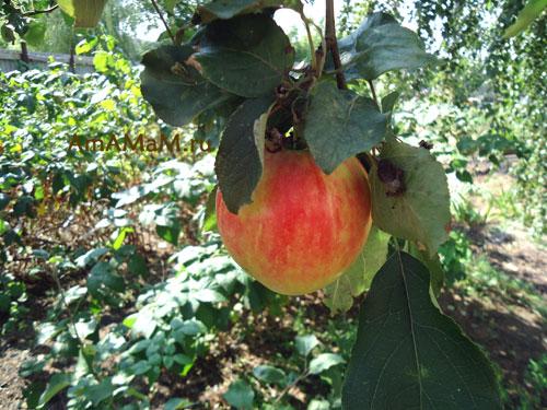 Вкусные рецепты заготовок из яблок