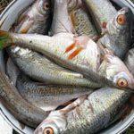 Как засолить рыбу на рыбалке