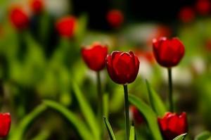 Красивые тюльпаны в подарок любимым!