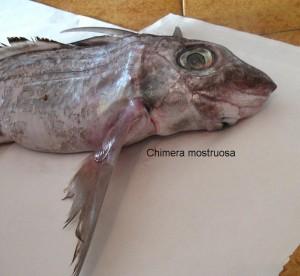 Химера - рыба с ядовитым плавником