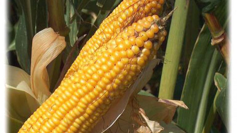 Фото кормовой кукурузы - как варить початки кукурузы, сколько времени