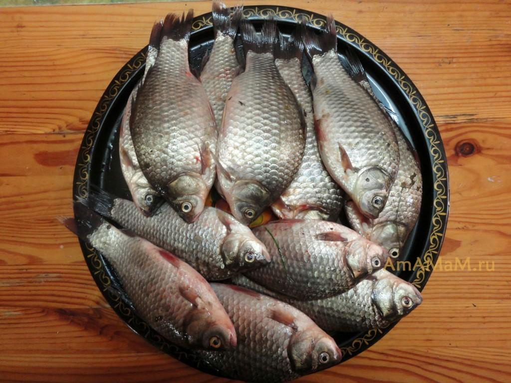 Как выглядят караси - фото рыбы