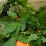 Молодая зелень крапивы - фото и рецепты приготовления