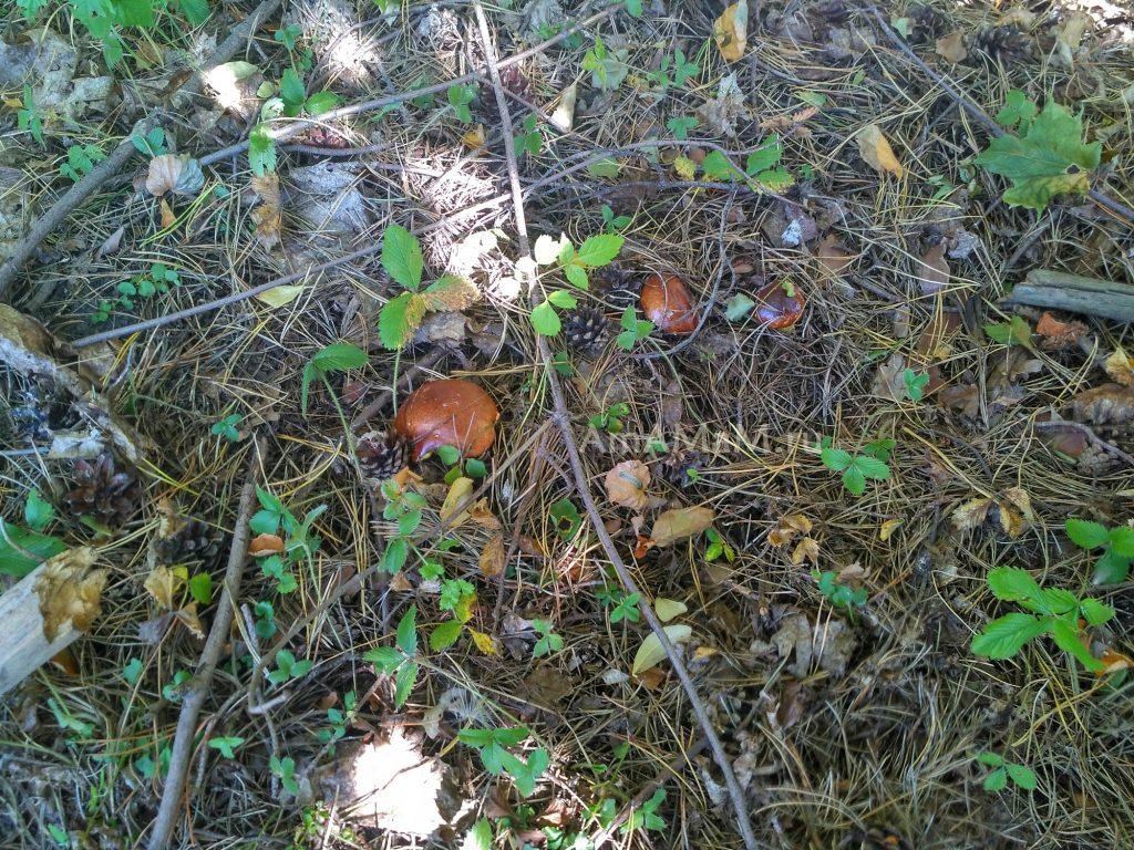 Маслята - грибы