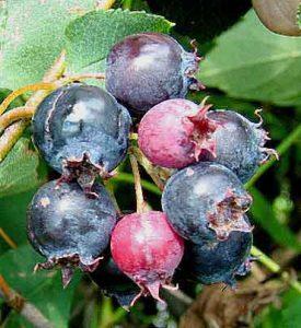Кустарник ирга - заготовка ягод на зиму - рецепты