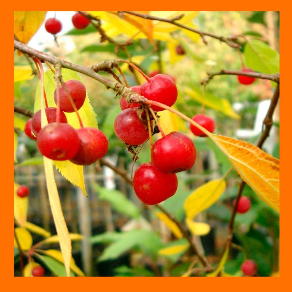 Фото китайки (райских яблочек) и рецепты