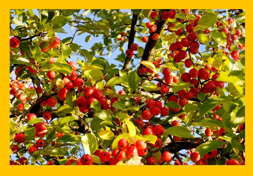 Фото яблони-китайки с яблочками