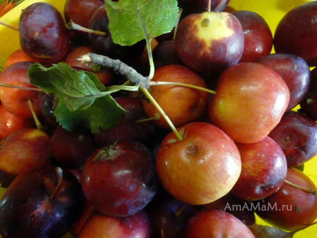 Гроздь яблок-китайки на ветке