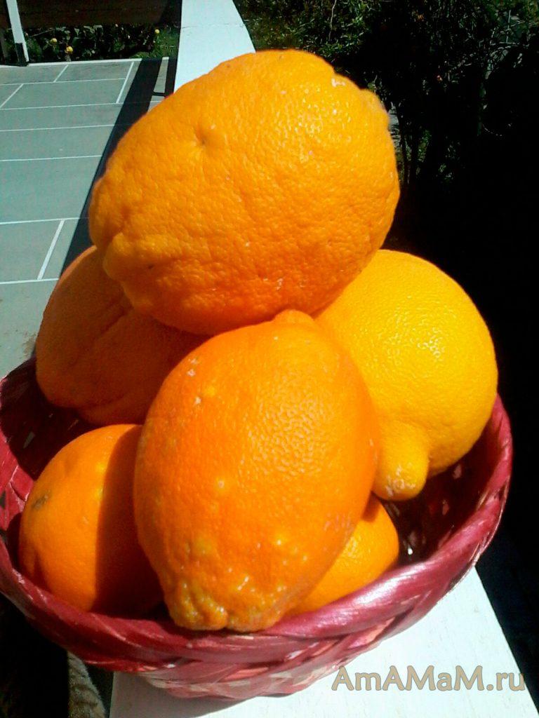 Что такое бергамот - фото и рецепты варенья и мармелада