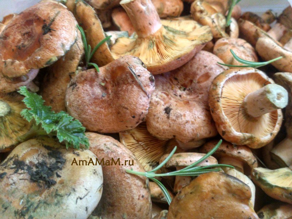 Рыжики - вкусные грибы - рецепты