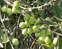 Как выглядит оливки на ветке - фото