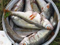 Как солить рыбу на рыбалке